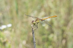 Dragonfly basking3 royalty free stock images