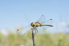 Dragonfly basking royalty free stock image