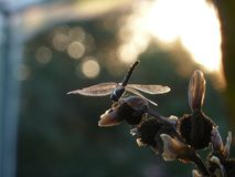 Dragonfly basking in the morning sun stock images