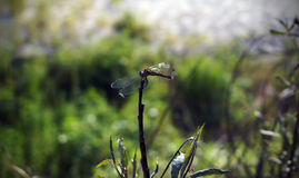 Dragonfly. Basking in the sun Royalty Free Stock Image