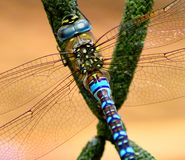 Dragonfly basking in sun stock photography