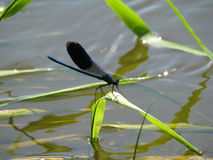 Dragonfly. Beautiful dragonfly on a blade of grass Stock Photos