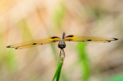 Dragonfly. Royalty Free Stock Photo