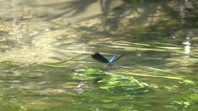 Dragonfly Beautiful Demoiselle Calopteryx virgo flutters above the water, slow motion stock video