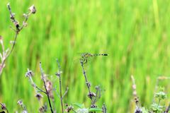 Dragonfly beautiful on fresh background abstract green royalty free stock photo
