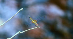 Dragonfly beautiful ,in its natural habitat Stock Photos