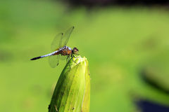 Dragonfly on beautiful lotus flower. A dragonfly on beautiful lotus flower Stock Image