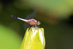 Dragonfly on beautiful lotus flower Stock Images
