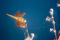 Orange dragonfly. Beautiful Orange dragonfly stock photo