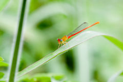 Dragonfly. Beautiful dragonfly ,Shot in Asia in Taiwan Royalty Free Stock Photos
