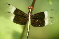 Dragonfly. Beautiful dragonfly, spanning out it's delicate gold embellished wings, basking in the sunlight Stock Photos