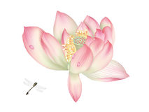 Dragonfly and Beautiful Water lily Stock Images