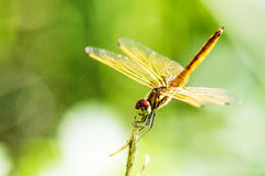 Dragonfly with beautiful wing Royalty Free Stock Photos