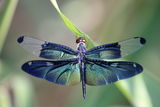 Dragonfly with beautiful wing Royalty Free Stock Photography