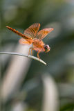 Dragonfly with beautiful wing. Thai Royalty Free Stock Images