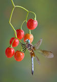 Dragonfly on berries stock image