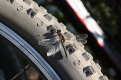 Dragonfly. On a bicycle wheel Royalty Free Stock Photo