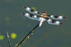 dragonfly biel Zdjęcie Stock