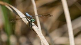Dragonfly, Big Cypress National Preserve, Florida Stock Photos