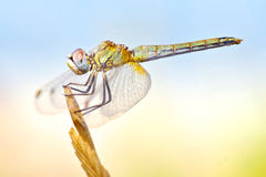 Dragonfly with big eyes balanced on the tip of a branch Stock Photo