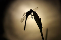 Dragonfly and big moon. Dragonfly on the flower in moonlight Royalty Free Stock Images