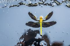 Dragonfly on black background stock image