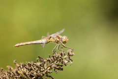 Dragonfly black-tailed skimmer Royalty Free Stock Photos