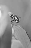 Dragonfly in black and white Stock Image