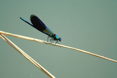 Dragonfly with black wings Stock Image
