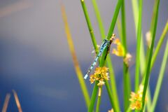 Dragonfly on blade of grass Stock Photo
