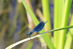 Dragonfly on a blade of grass Royalty Free Stock Images