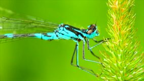 Dragonfly on blade of grass stock video