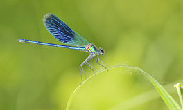 Dragonfly on a blade of grass Royalty Free Stock Photos
