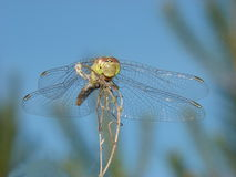 Dragonfly on blue background. A dragonfly sitting on a plant with blue background stock photos