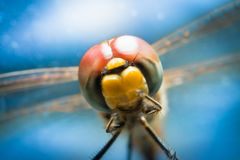 Dragonfly. On blue background. Macro photo of nature Stock Photography