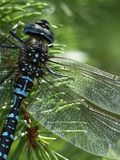 Dragonfly, Blue, Black, Brown Stock Photo