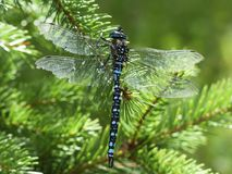 Dragonfly, Blue, Black, Brown Royalty Free Stock Image