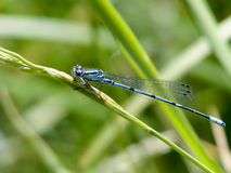 Dragonfly. Blue dragonfly on a blade of grass Royalty Free Stock Photos