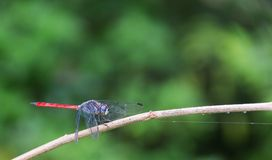 Dragonfly blue body and red tail or Anisoptera perched on dry twigs. Dragonfly blue body and red tail or Anisoptera perched on dry twigs, the background is royalty free stock images