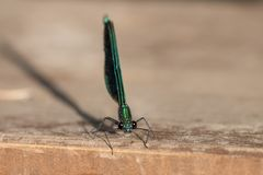 Dragonfly Blue Dasher Royalty Free Stock Photo