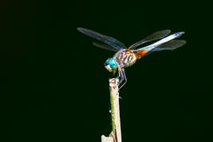 Dragonfly Blue Dasher royalty free stock image