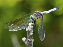 Dragonfly Blue Dasher Stock Image