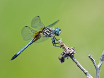 Dragonfly Blue Dasher Stock Photo