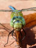Dragonfly, Blue Dragonfly Royalty Free Stock Images