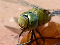 Dragonfly, Blue Dragonfly Royalty Free Stock Photo