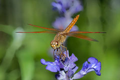 Dragonfly on blue flower. Closeup, dragonfly on blue flower in the garden Stock Photos