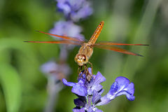 Dragonfly on blue flower. Closeup, dragonfly on blue flower in the garden Royalty Free Stock Image