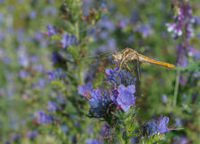 Dragonfly on blue flower Stock Images