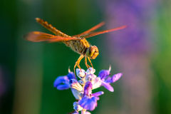 Dragonfly on blue flower. In the garden Royalty Free Stock Image