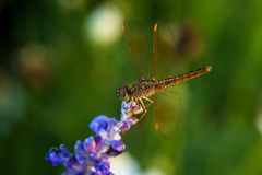 Dragonfly on blue flower. In the garden Royalty Free Stock Photos